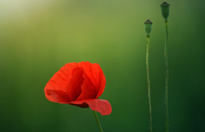 Single poppy on a green background